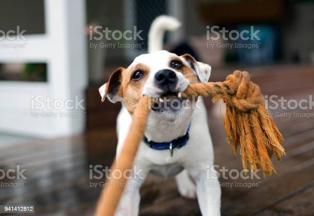 Fox terrier tugging the rope playing picture id941412812?b=1&k=6&m=941412812&s=612x612&h=w ugak49pkbop8k3gz8aanlrwlukaicinvpjsqn d1u=