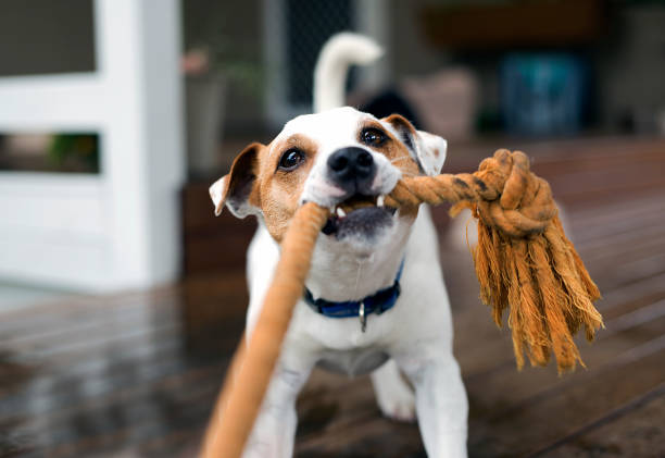 Fox Terrier tugging the rope playing Fox terrier dog tugging the rope playing pulling stock pictures, royalty-free photos & images
