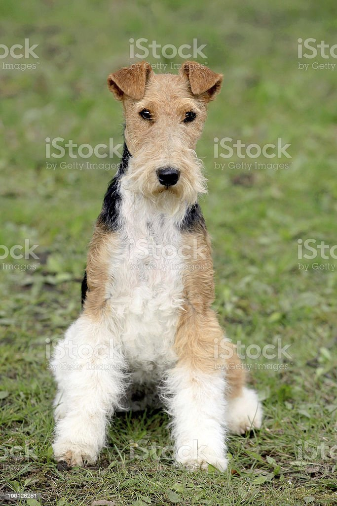 Fox Terrier Wire in the autumn garden stock photo