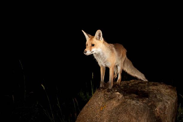 Raposa, vulpes vulpes, retrato em cima de uma pedra - foto de acervo