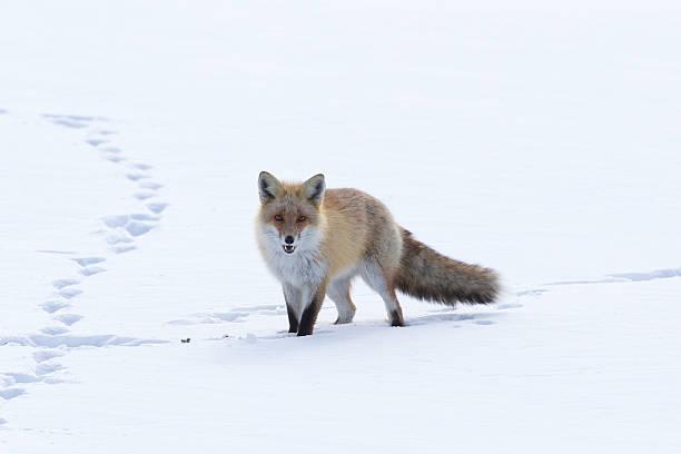 Fox Walking Across the Snow stock photo
