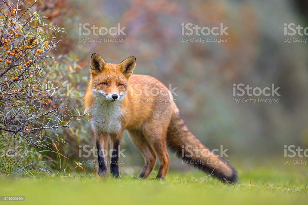 Fox walking in dune vegetation stock photo
