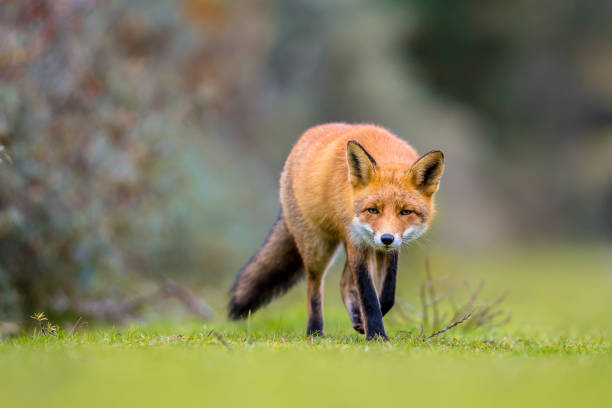 fox walking on grass - fox stock photos and pictures