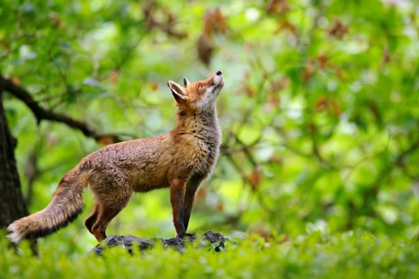 Fuchs mit schönen Forrest Hintergrund – Foto