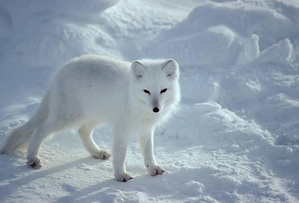 fox-ártico - raposa ártica imagens e fotografias de stock