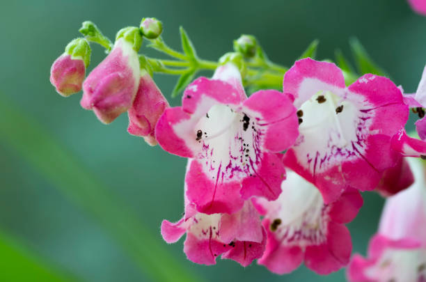 Foxglove, alias fox gloves, digitalis, finger flower, Admiralty, heart grass, poison herb, purple foxglove and bellflower Botany, plant, petal, beauty, nature alias stock pictures, royalty-free photos & images