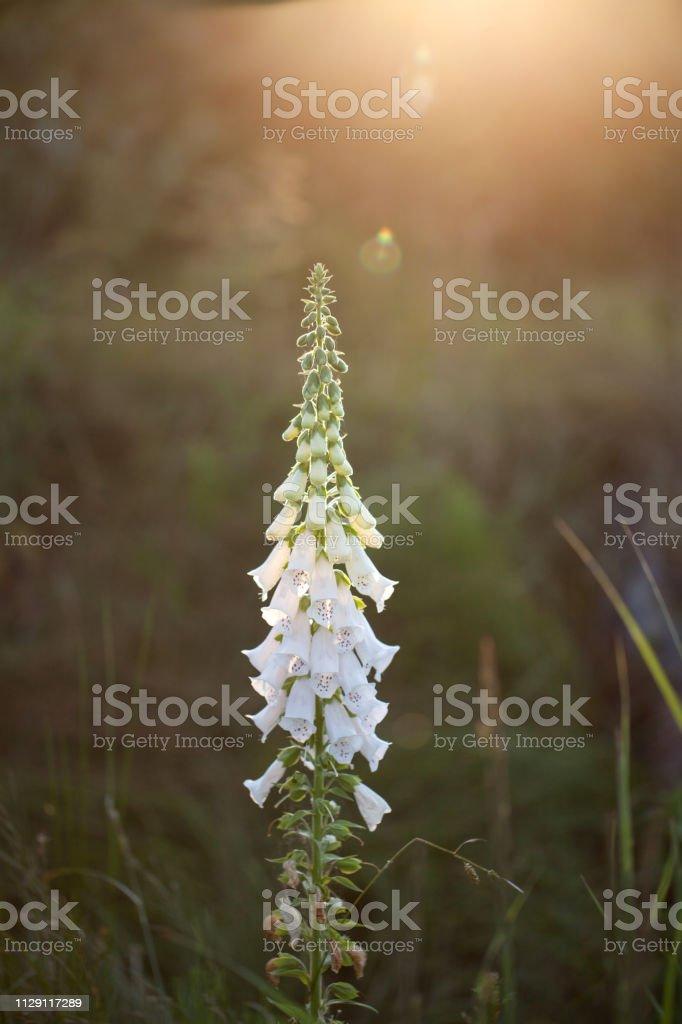 foxglove, digitalis - beautiful flower, herb blooming in the field in the beautiful sun stock photo