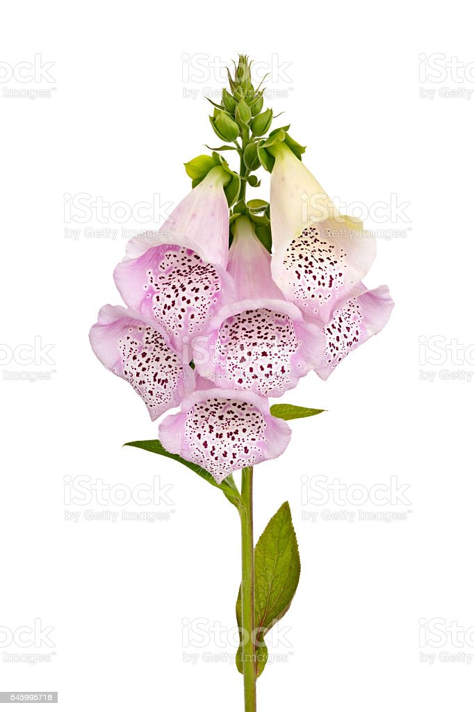 Foxglove flower isolated on white background. stock photo