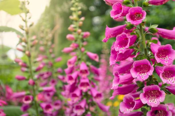 Foxglove flowers in a garden stock photo