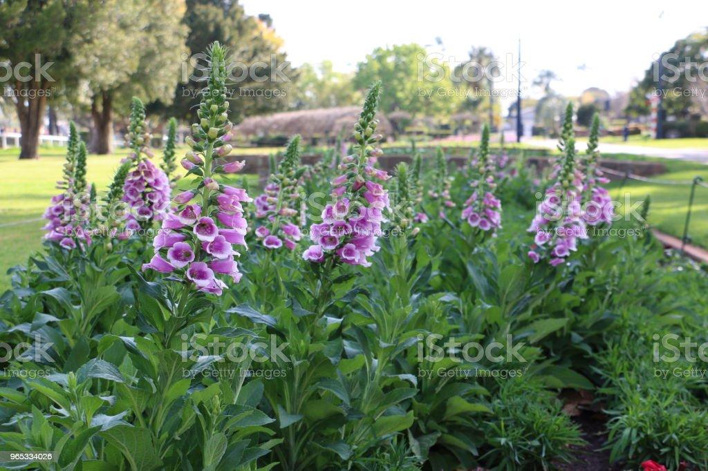 Fleurs de digitale dans le jardin à l'ombre après-midi - Photo de Australie libre de droits