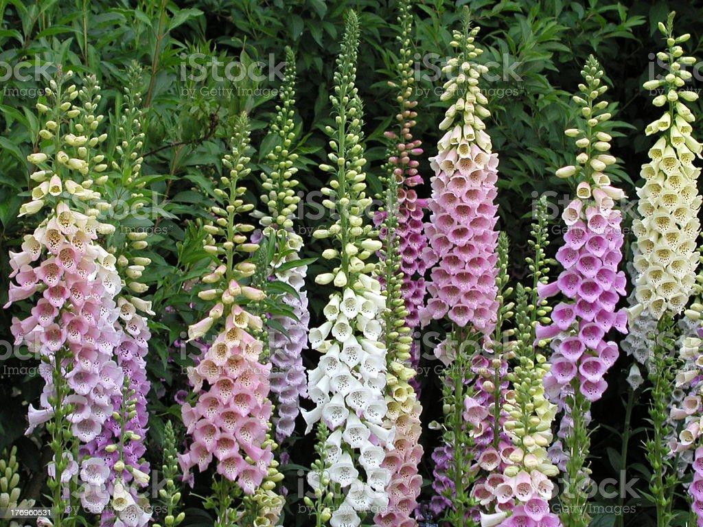 Foxglove flowers stock photo