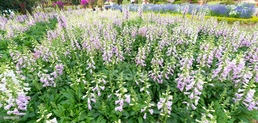 Fingerhut Blumen – Foto