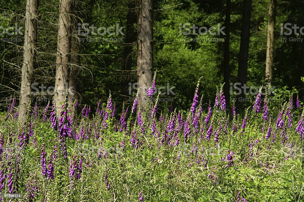 Foxglove on a wood clearing stock photo