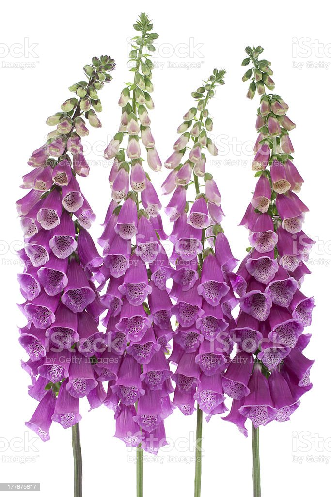 foxglove royalty-free stock photo