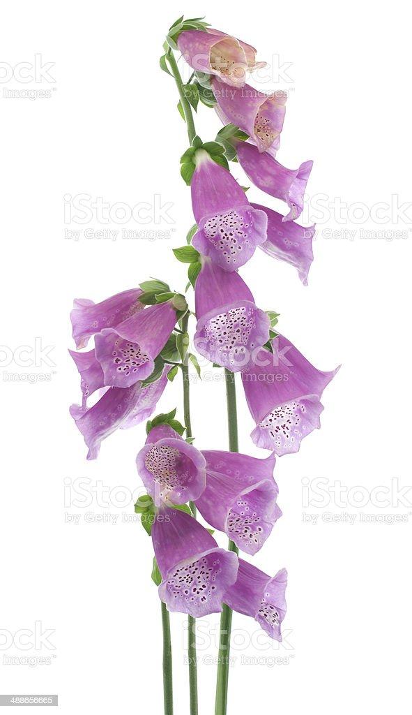 foxglove stock photo