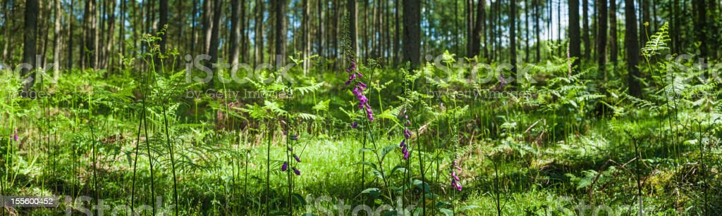 Foxgloves and ferns in the forest royalty-free stock photo