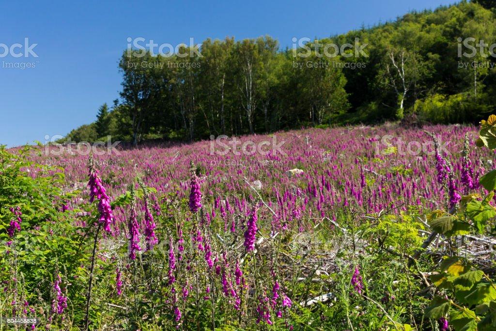Foxgloves Sea of Purple stock photo