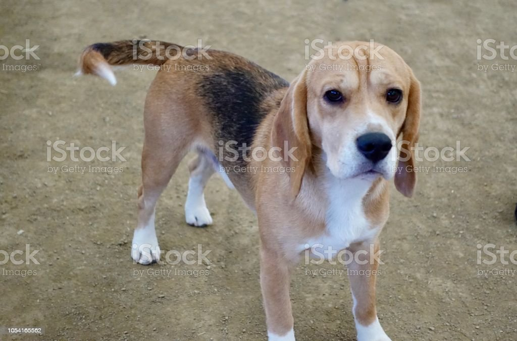 Foxhound Dog stock photo