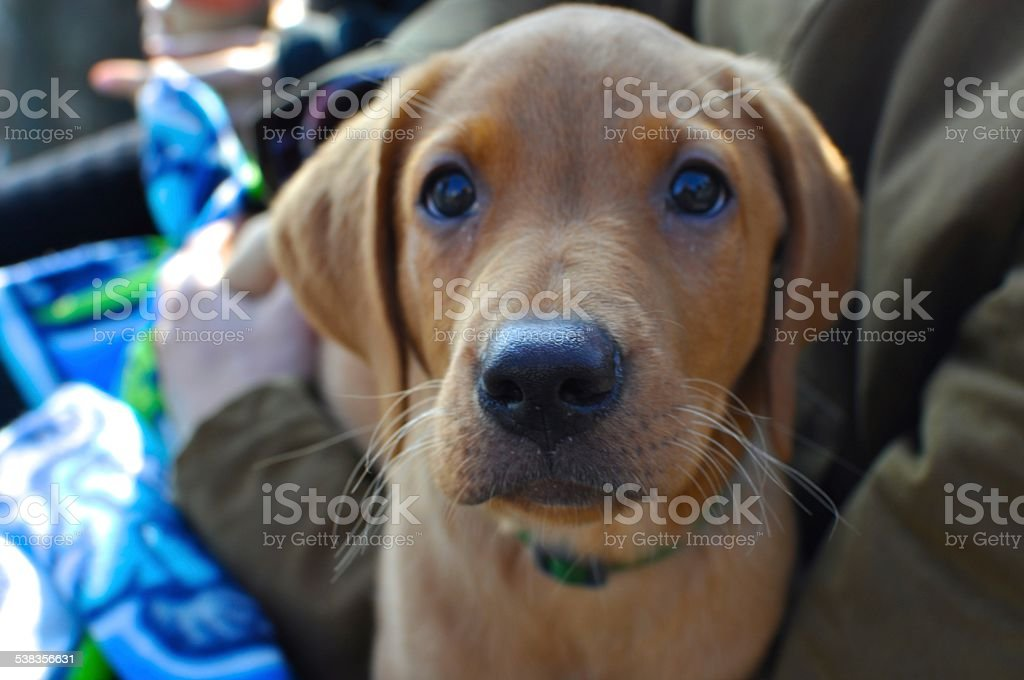 Foxred Labrador Puppy Stock Photo Download Image Now Istock