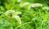 Foxtail field in the nature