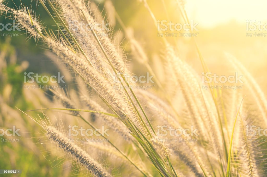 Foxtail grass flower in the field with sunlight shines - Royalty-free Agricultural Field Stock Photo
