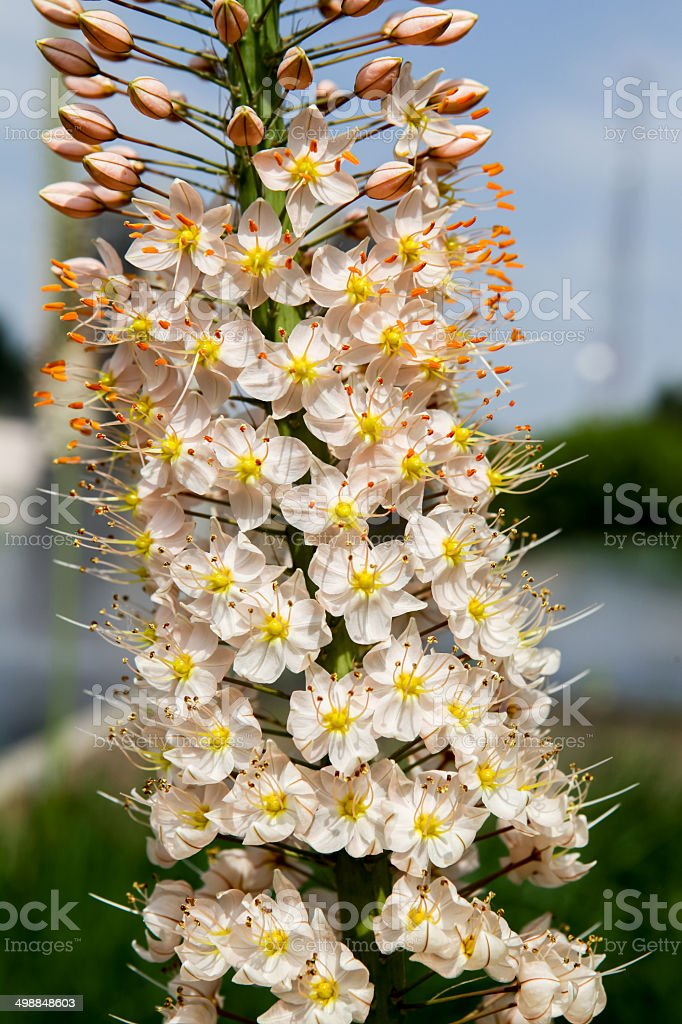 Foxtail Lily (Eremurus) flowers stock photo
