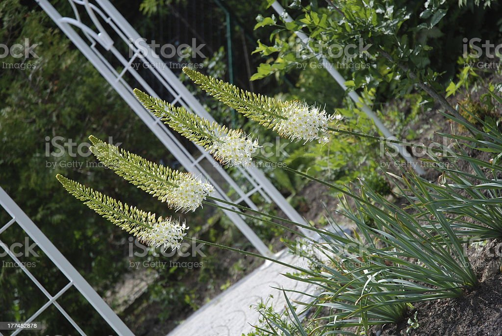 Foxtail lily stock photo