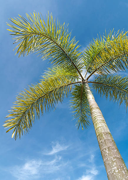 Fuchsschwanz-Palm auf blue sky – Foto