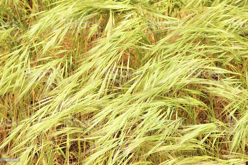 Foxtail Weed Grass Seed Stems royalty-free stock photo