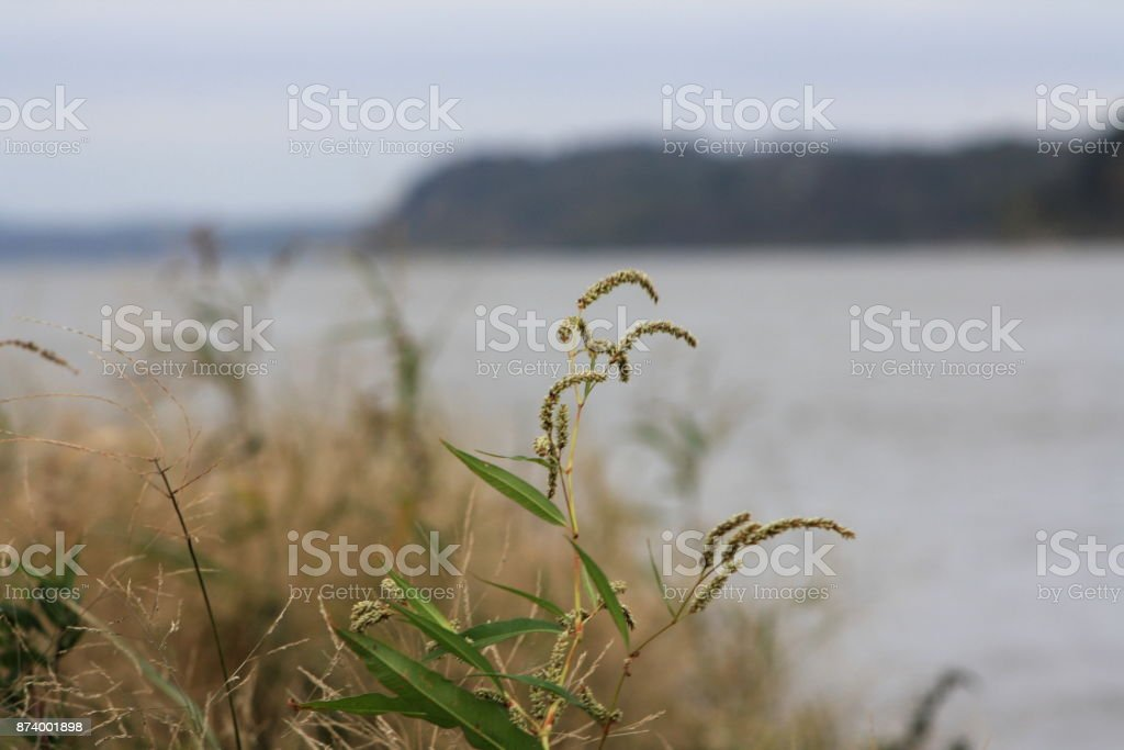 Foxtail weed growing on the Ohio Riverbank stock photo