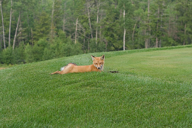Foxy golf – Foto