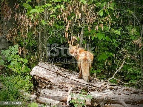 istock Foxy Lady 1331157484