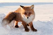 Red fox. Wildlife. Arctic,  Kolguev Island, Barents Sea, Russia.