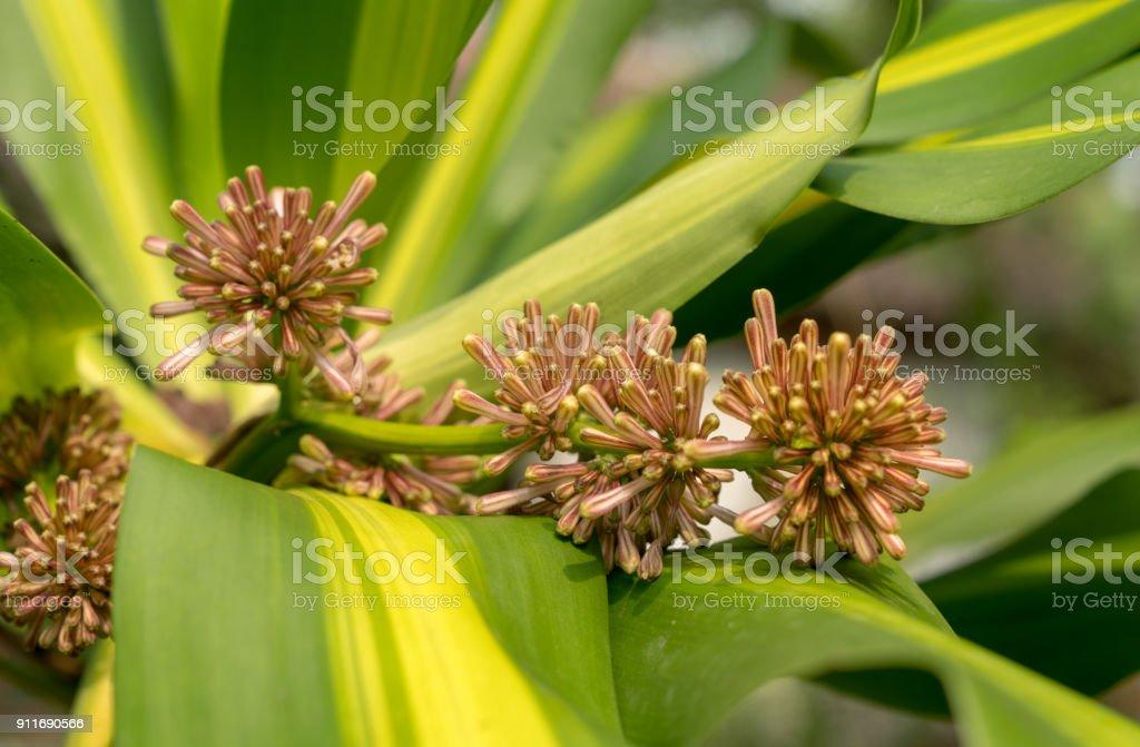 Fragant FLower(Dracaena fragrans) on green leaves stock photo