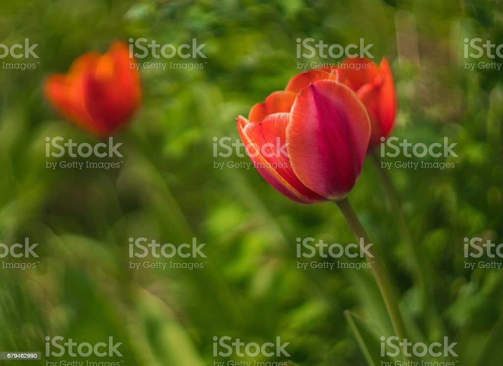 fragile beauty of red tulip flower royalty-free stock photo