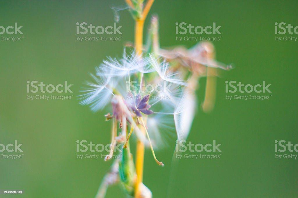 Fragile dandelion fluff. Autumn abstraction. Fragile fluff blowball stock photo