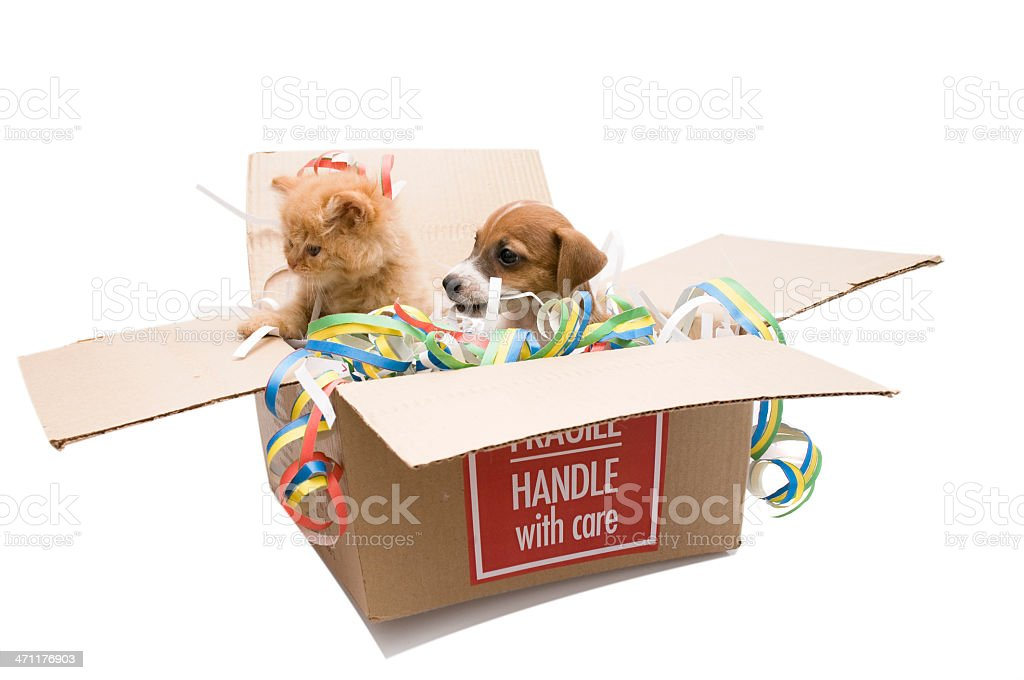 persian cat and jack russel in the box