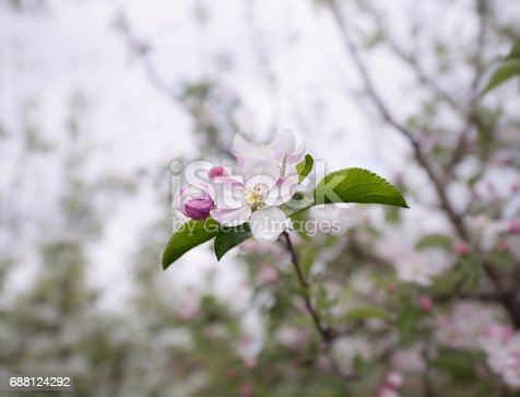 Close up on light pink cherry flower blooming in spring
