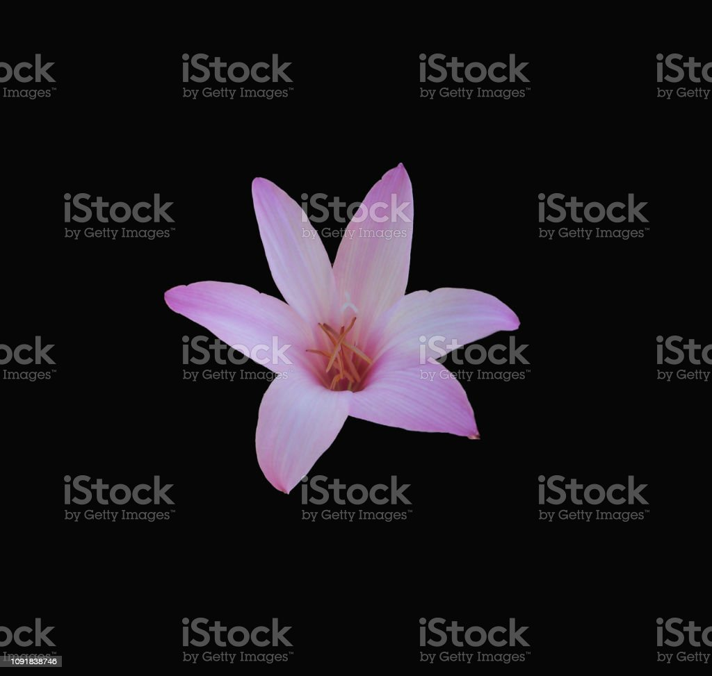 Fragile pink rain lily on black background stock photo