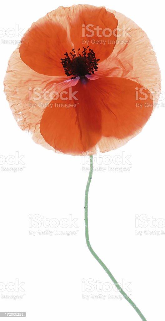 Fragile Poppy royalty-free stock photo