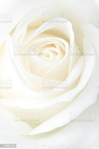 Fragile white rose macro picture id119900702?b=1&k=6&m=119900702&s=612x612&h=hhhocbjk1fe0su5bpp 7zp2ow3zkf tgvhfomncsxbi=