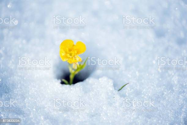 Photo of Fragile yellow flower breaking the snow cover