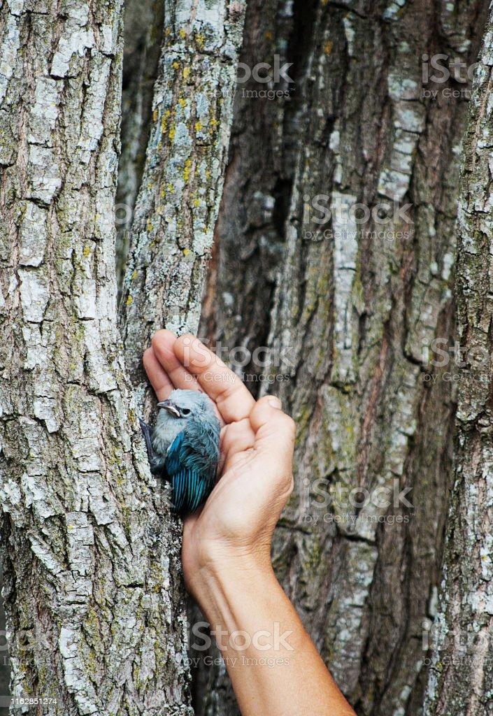 pichón de pájaro azulejo que aún no aprender a volar resguardado por...