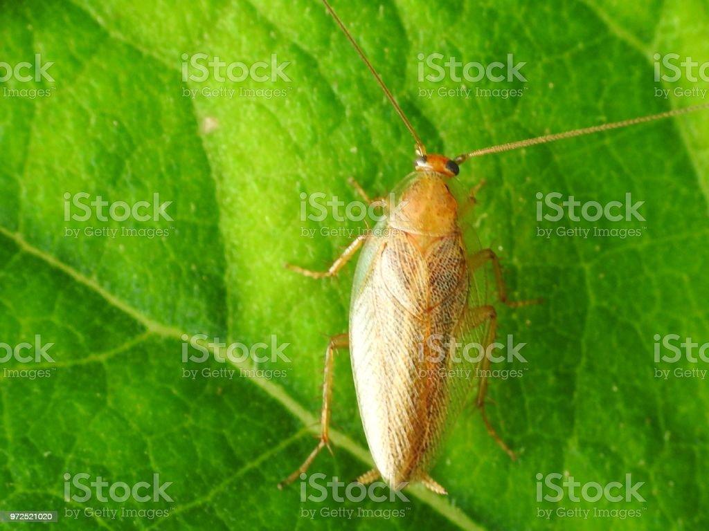 Ectobius sp. - Ectobiidae.