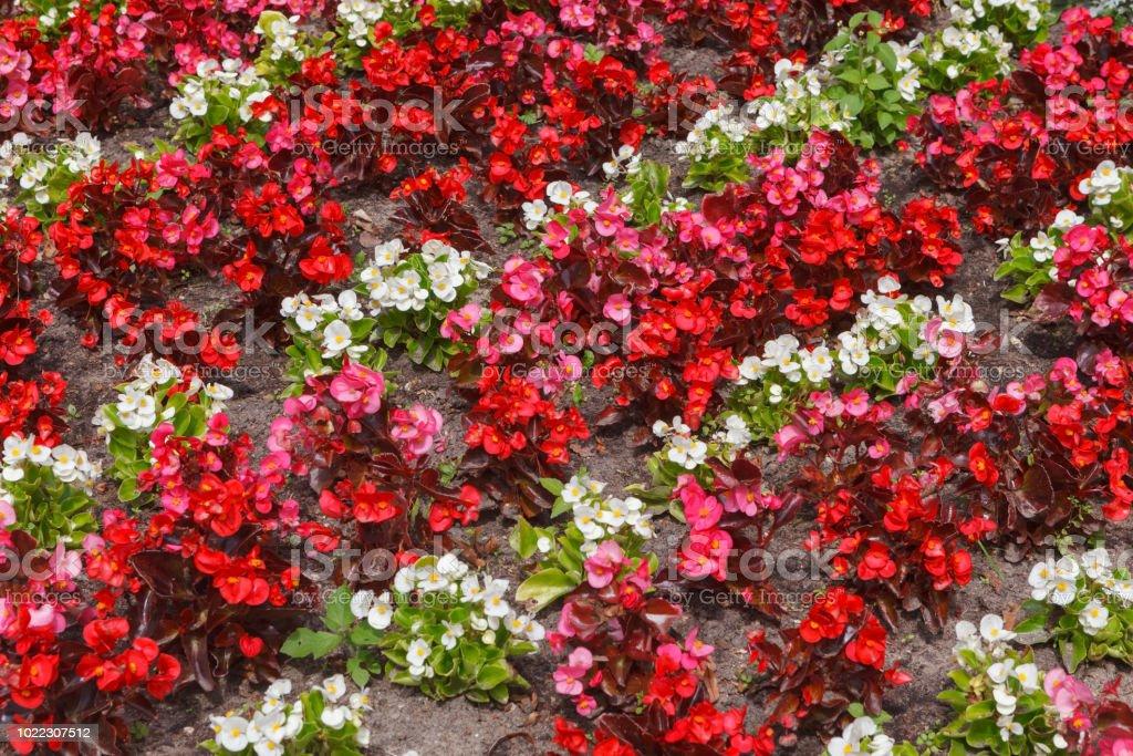 Fragment der Blumenbeete mit roten und weißen Blüten von Begonia – Foto
