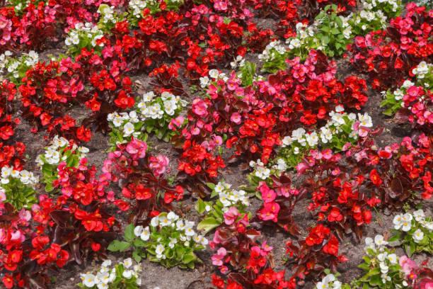 fragment der blumenbeete mit roten und weißen blüten von begonia - wachsblume stock-fotos und bilder