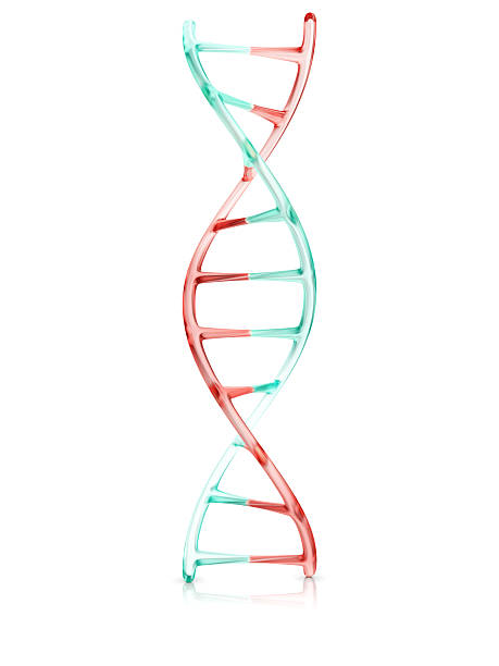 fragment of human DNA molecule, 3d illustration fragment of human DNA molecule, 3d illustration isolated on white background nucleotide stock pictures, royalty-free photos & images