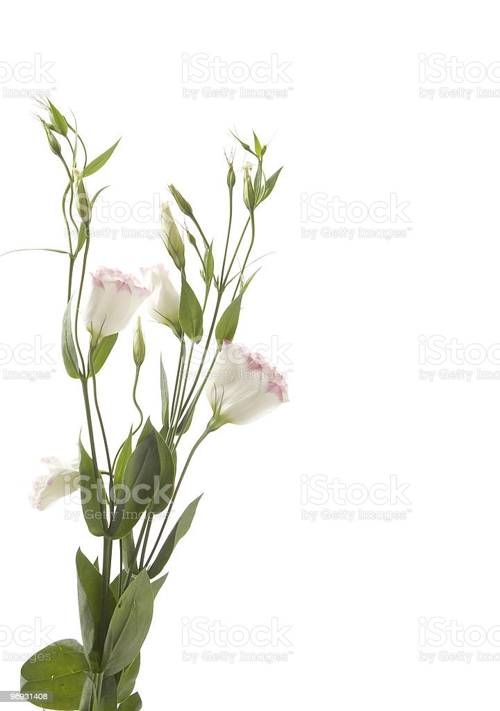 fragment of  lisianthus ' bunch royalty-free stock photo