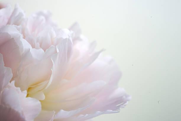 Fragment of pink peony picture id542308652?b=1&k=6&m=542308652&s=612x612&w=0&h=aoggzg4nrnsczpprjgygit7wi31uom7yal7crjably0=