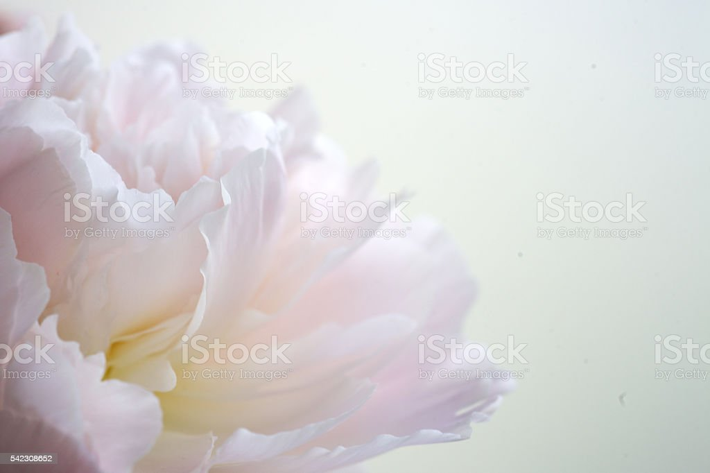 fragment of pink peony stock photo